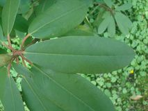 Καταπληκτικό φύλλο Rododendron Στοκ φωτογραφίες με δικαίωμα ελεύθερης χρήσης