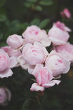 Καταπληκτικά θαυμάσια όμορφα ρόδινα καλά τριαντάφυλλα λουλουδιών Στοκ Φωτογραφία