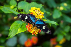 Καταπληκτική πεταλούδα στο κίτρινο λουλούδι Στοκ φωτογραφία με δικαίωμα ελεύθερης χρήσης