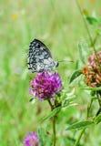 Καταπληκτική πεταλούδα φύσης Στοκ Εικόνες