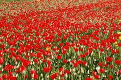 Καταπληκτικός κόκκινος τομέας τουλιπών την άνοιξη Στοκ εικόνες με δικαίωμα ελεύθερης χρήσης