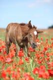 Καταπληκτικό αραβικό foal που τρέχει στον κόκκινο τομέα παπαρουνών Στοκ εικόνες με δικαίωμα ελεύθερης χρήσης