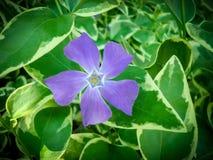Καταπληκτικό με πέταλα μπλε άνθος λουλουδιών βιγκών πέντε με πράσινο Στοκ Εικόνα