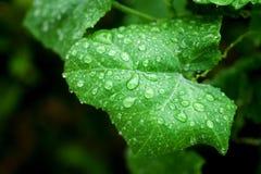 καταπληκτικό πράσινο φύλλο σταγονίδιων σταγονίδιων διαμαντιών που αφήνεται όπως το ανώτερο ύδωρ βλεμμάτων Στοκ εικόνες με δικαίωμα ελεύθερης χρήσης