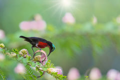 Καταπληκτικό όμορφο sunbird Στοκ Φωτογραφίες