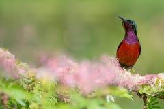 Καταπληκτικό όμορφο sunbird Στοκ Εικόνες