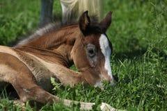 Καταπληκτικό foal στο pasturage Στοκ Εικόνες