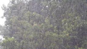 Καταρρακτώδης βροχή που αφορά ένα δρύινο δέντρο απόθεμα βίντεο