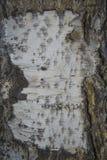 Κατασκευασμένο υπόβαθρο - φλοιός σημύδων Στοκ Εικόνα