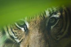 κατασκοπεύοντας τίγρη Στοκ Εικόνες