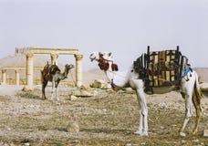 καταστροφές Συρία palmyra ερήμων καμηλών Στοκ εικόνα με δικαίωμα ελεύθερης χρήσης