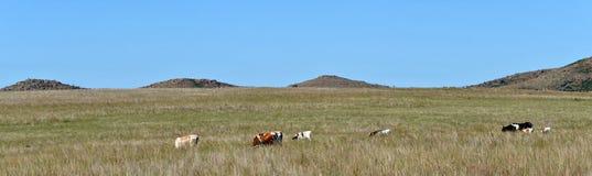 Καταφύγιο άγριας πανίδας Οκλαχόμα βουνών του Wichita ταύρων του Τέξας Longhorn πανοράματος στοκ φωτογραφία