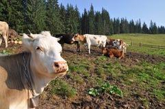 καταφύγιο αγελάδων Στοκ Εικόνες