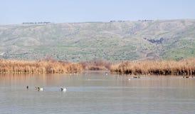 Καταφύγιο πουλιών Hula Agamon, κοιλάδα Hula, Ισραήλ Στοκ φωτογραφίες με δικαίωμα ελεύθερης χρήσης
