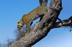 κατεβαίνοντας leopard δέντρο Στοκ φωτογραφίες με δικαίωμα ελεύθερης χρήσης