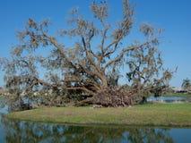 Κατεβασμένο δρύινο δέντρο Στοκ Φωτογραφίες