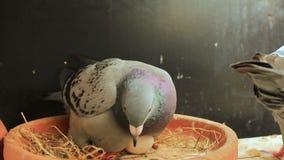 Κατευθυμένος αυτομάτως εκκολάπτοντας αυγά πουλιών περιστεριών στην εγχώρια σοφίτα απόθεμα βίντεο