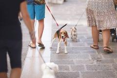 Κατοικίδια ζώα στα λουριά για έναν περίπατο με τους ιδιοκτήτες Στοκ φωτογραφία με δικαίωμα ελεύθερης χρήσης