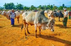 Κατοικίδια ζώα στο Μιανμάρ, αγορά Heho στοκ εικόνα με δικαίωμα ελεύθερης χρήσης