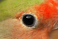 κατοικίδιο ζώο παπαγάλων ματιών Στοκ εικόνα με δικαίωμα ελεύθερης χρήσης
