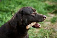 Κατοικίδια ζώα, ζώα, ένα σκυλί, ένα Λαμπραντόρ στο κατώφλι Στοκ Εικόνες