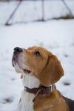 κατοικίδιο ζώο σκυλιών beagel Στοκ φωτογραφίες με δικαίωμα ελεύθερης χρήσης