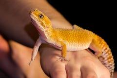Κατοικίδιο ζώο gecko λεοπαρδάλεων Στοκ Φωτογραφίες