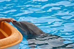κατσίκι δελφινιών Στοκ Φωτογραφίες
