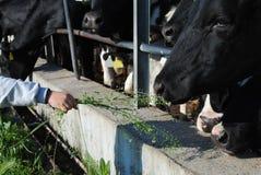 κατσίκι χεριών τροφών αγελάδων Στοκ φωτογραφίες με δικαίωμα ελεύθερης χρήσης