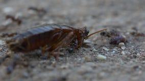 Κατσαρίδα εναντίον των μυρμηγκιών απόθεμα βίντεο