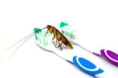 Κατσαρίδα στην οδοντόβουρτσα που απομονώνεται στο άσπρο υπόβαθρο contagion Στοκ Φωτογραφία