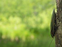 Κατσαρίδα Blaberus στο δέντρο στοκ εικόνα με δικαίωμα ελεύθερης χρήσης