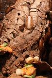 Κατσαρίδα Buffalo - tesselata Archimandrita Στοκ φωτογραφία με δικαίωμα ελεύθερης χρήσης