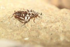 Κατσαρίδα Harlequin Στοκ Εικόνες