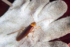 Κατσαρίδες στα βρώμικα γάντια Η έννοια της παρεμπόδισης των κατσαρίδων στοκ φωτογραφία με δικαίωμα ελεύθερης χρήσης