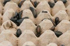 Κατσαρίδες της Μαδαγασκάρης της διαφορετικής κινηματογράφησης σε πρώτο πλάνο μεγεθών στο terrarium στοκ εικόνες