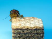 Κατσαρίδα κινηματογραφήσεων σε πρώτο πλάνο στην γκοφρέτα σοκολάτας, το μπλε υπόβαθρο Οι κατσαρίδες είναι φορείς της ασθένειας στοκ φωτογραφία
