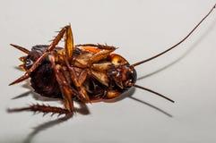 κατσαρίδα νεκρή Στοκ Εικόνες