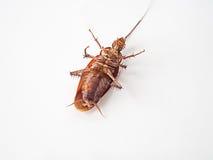 Κατσαρίδα ύπτια σε ένα άσπρο υπόβαθρο Στοκ Εικόνες