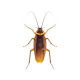 κατσαρίδα στοκ εικόνες με δικαίωμα ελεύθερης χρήσης