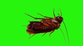 Κατσαρίδες στην απομονωμένη πράσινη οθόνη απόθεμα βίντεο