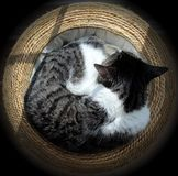 Κατσαρωμένη γάτα Στοκ φωτογραφίες με δικαίωμα ελεύθερης χρήσης