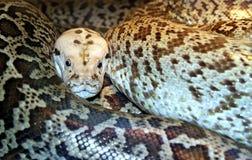 κατσαρωμένη python χαλάρωση Στοκ φωτογραφία με δικαίωμα ελεύθερης χρήσης