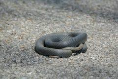 Κατσαρωμένο επάνω φίδι στο δρόμο Στοκ εικόνες με δικαίωμα ελεύθερης χρήσης