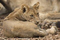 Κατσαρωμένο επάνω cub λιονταριών στοκ φωτογραφία με δικαίωμα ελεύθερης χρήσης