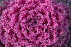 κατσαρό λάχανο διακοσμητικό στοκ εικόνες