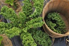 κατσαρό λάχανο συγκομιδών στοκ εικόνες με δικαίωμα ελεύθερης χρήσης