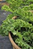 κατσαρό λάχανο συγκομιδών στοκ φωτογραφία με δικαίωμα ελεύθερης χρήσης