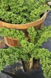 κατσαρό λάχανο συγκομιδών στοκ φωτογραφίες με δικαίωμα ελεύθερης χρήσης