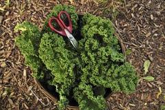 κατσαρό λάχανο συγκομιδών στοκ εικόνες